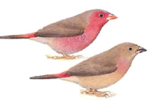 photograph of a Bar-breasted Firefinch