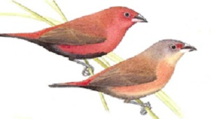 photograph of a Black-bellied Firefinch
