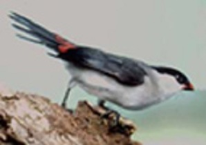 photograph of a Black-crowned Waxbill