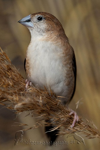 photograph of an Indian Silverbill