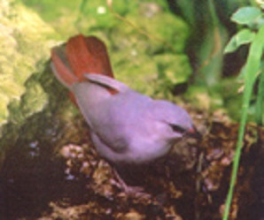 photograph of a Lavender Waxbill