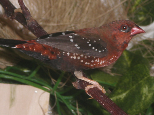 photograph of a Red Avadavat