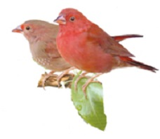 photograph of a red-billed firefinch