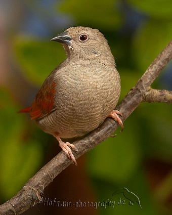 photograph of a Red-winged Pytilia (hen bird)