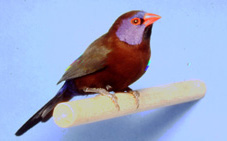 photograph of a Violet-eared Waxbill